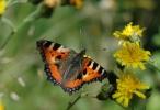 Det krydde av sommerfugler på de blomsterrike engene. Her neslesommerfugl.