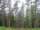 Høye, ranke furuer (Foto: Marianne Ur)